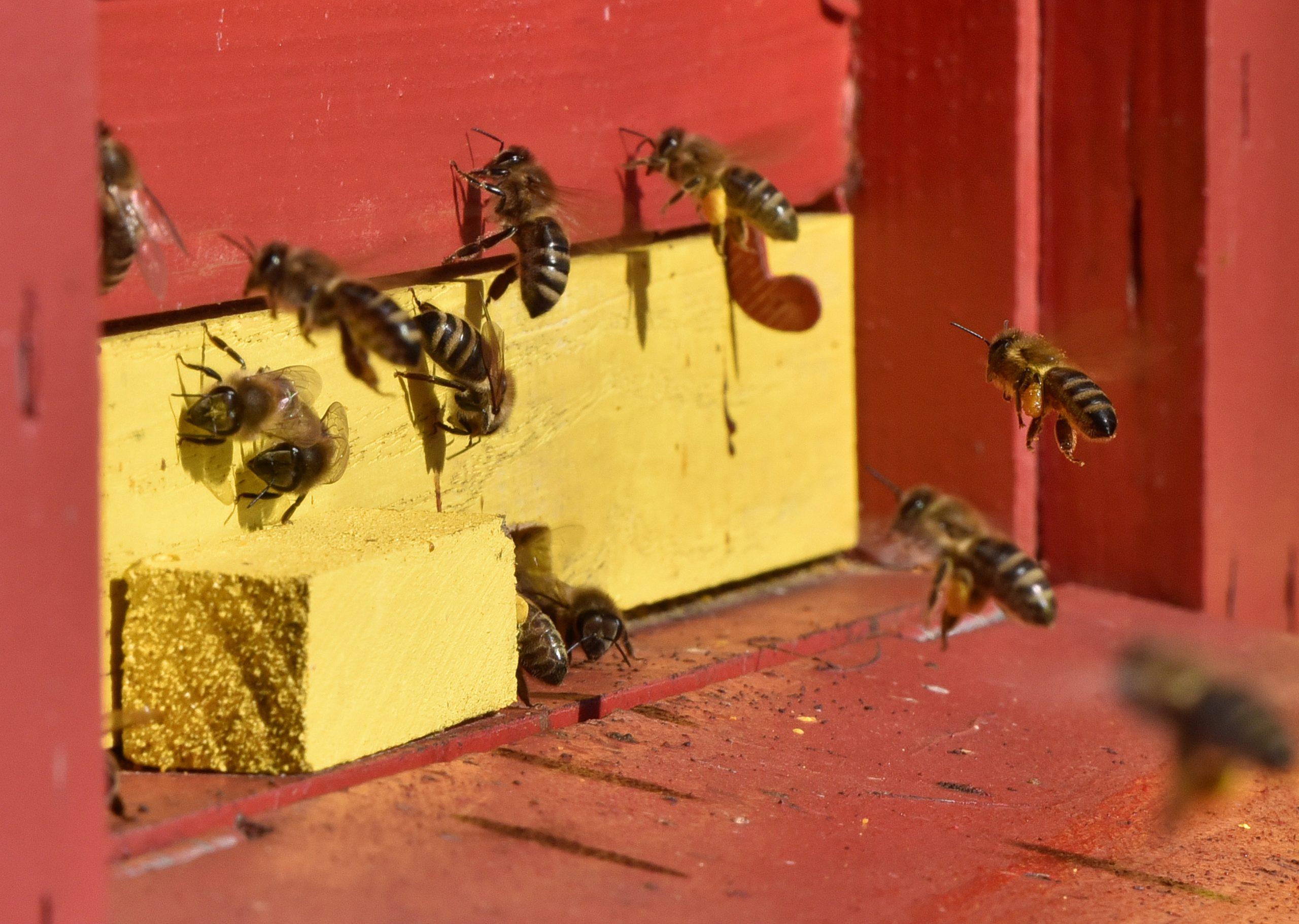 Čebele pred panjem