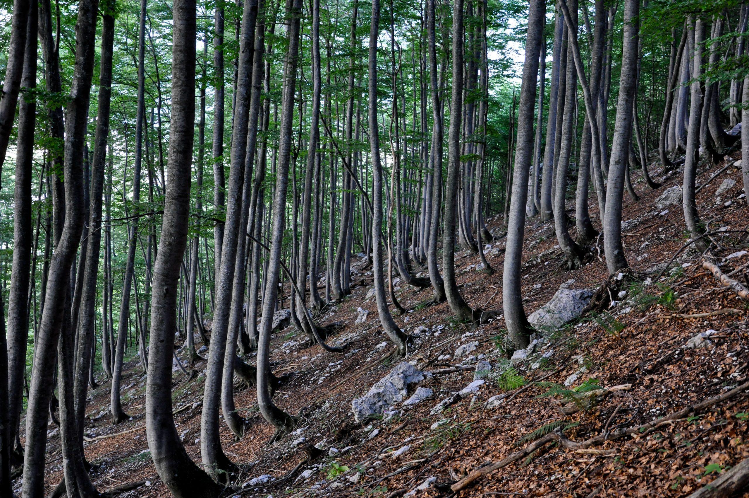 Bokovi gozdovi