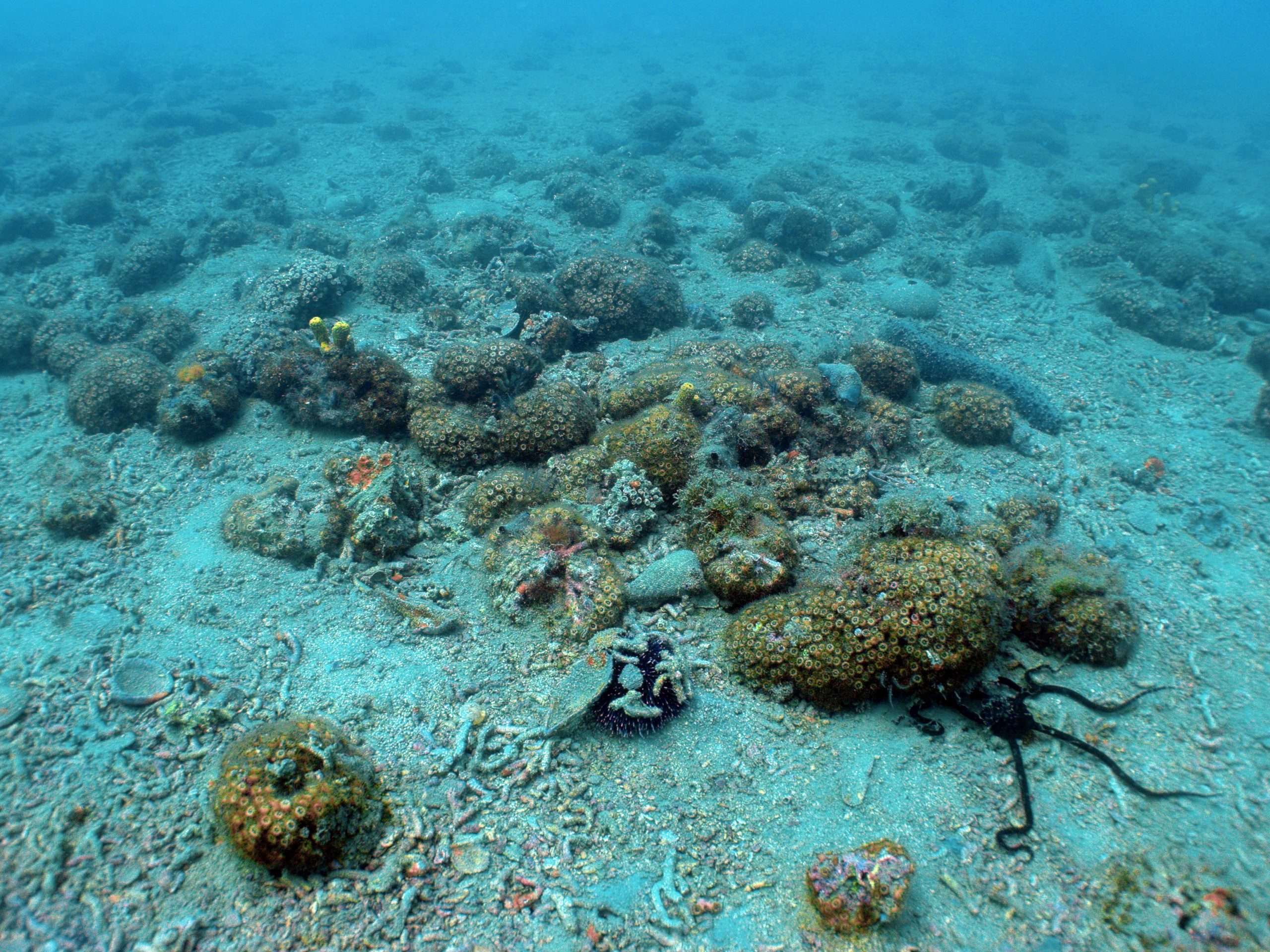 Slovensko morje je izjemno bogato - greben Sredozemskih kamenih koral