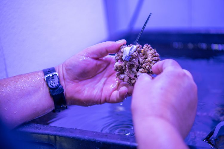 Sredozemska kamena korala, korala