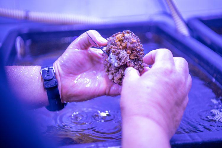 Poskusi gojenja koral