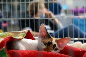 Mačke na mednarodni razstavi