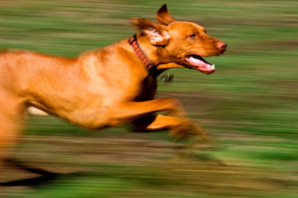 pes teče